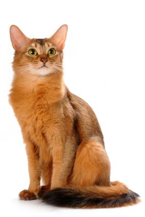 Somali cat ruddy color sitting isolated on white bakcground